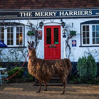 Merry Harriers, Hambledon